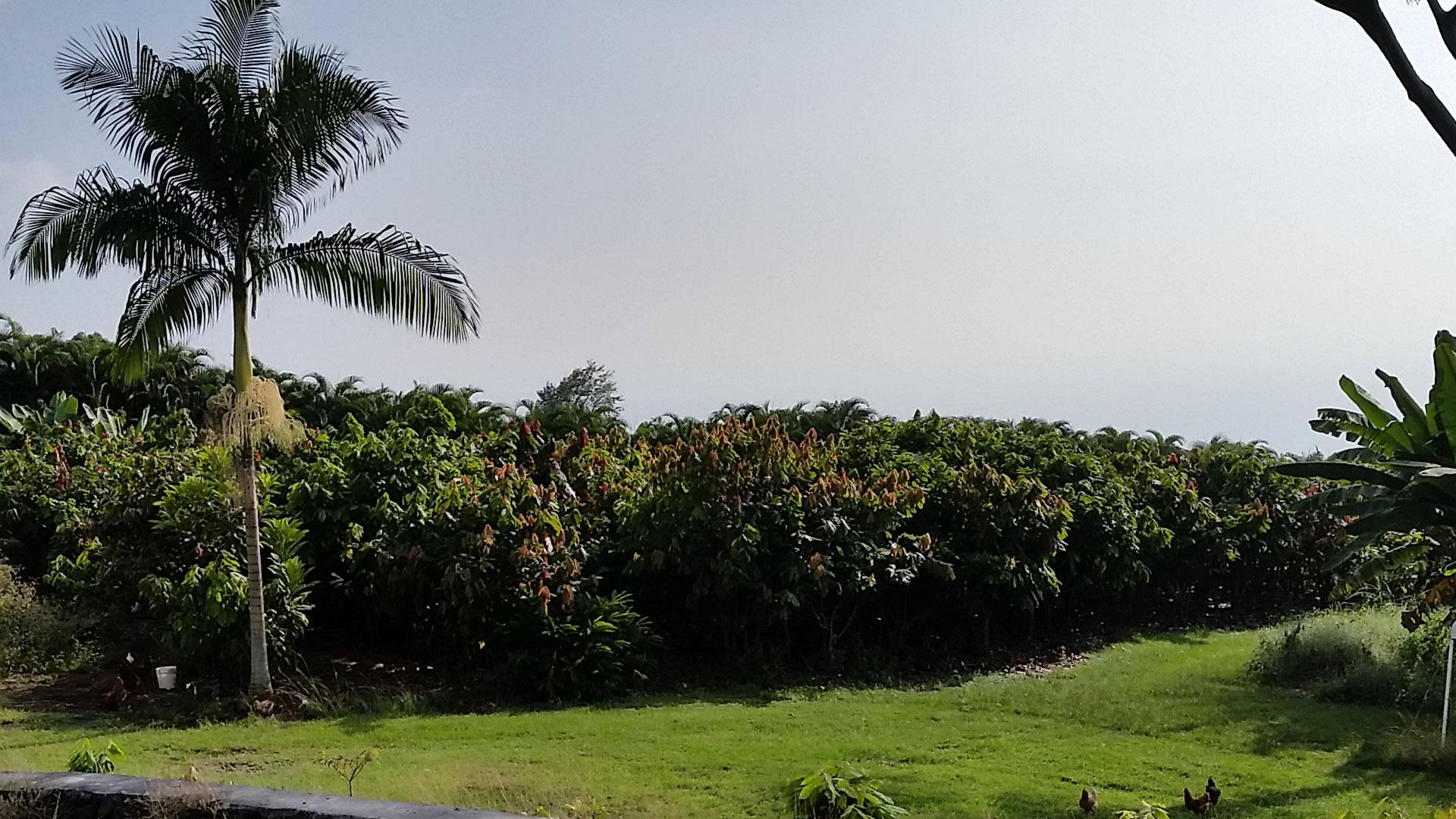 Likao Kula Cacao Zoom Background