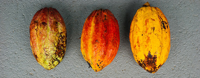 Costa Rica loses a major source of organic cacao