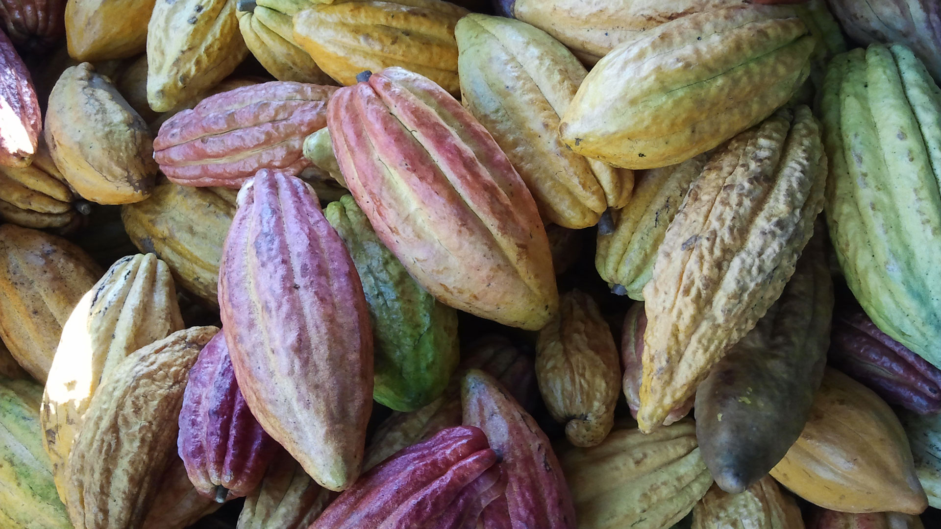 Cacao Pods Zoom Background