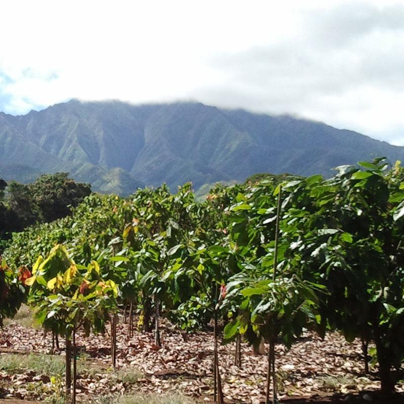 Hawaii Cacao Farm